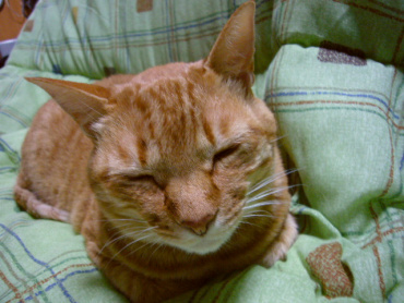 猫のちゃこ 寝姿b