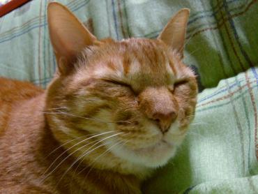 猫のちゃこ 寝姿h